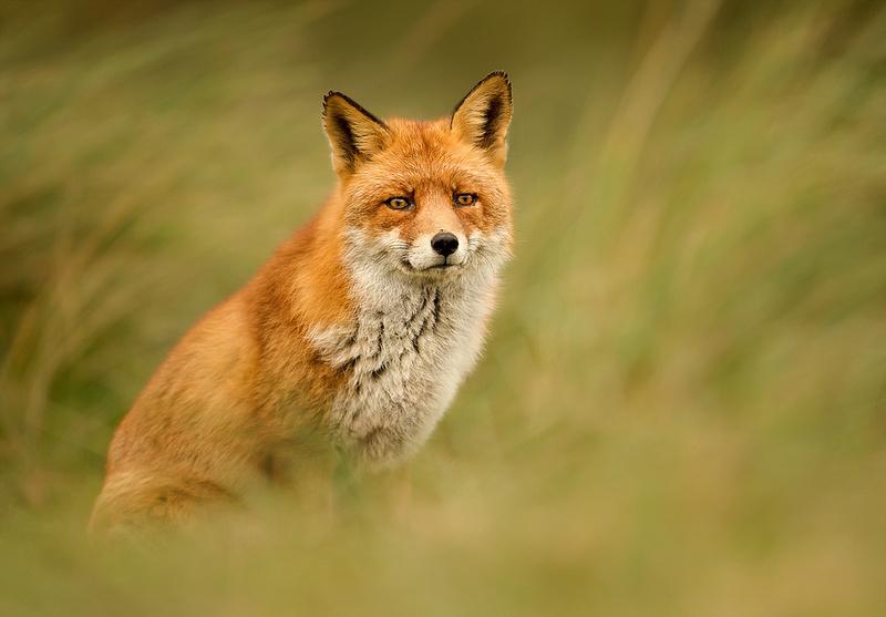 Fox in Winter Coat