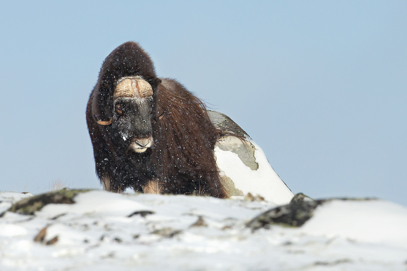 Musk Ox in the Falling Snow
