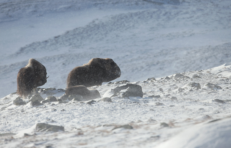 Musk Ox in Blizzard