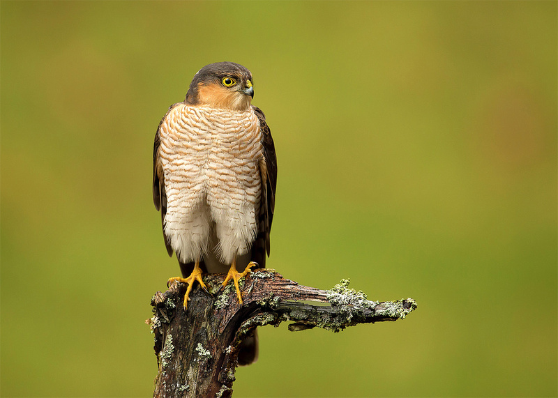 Male Sparrowhawk on a Perch