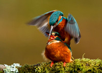 Mating Kingfishers