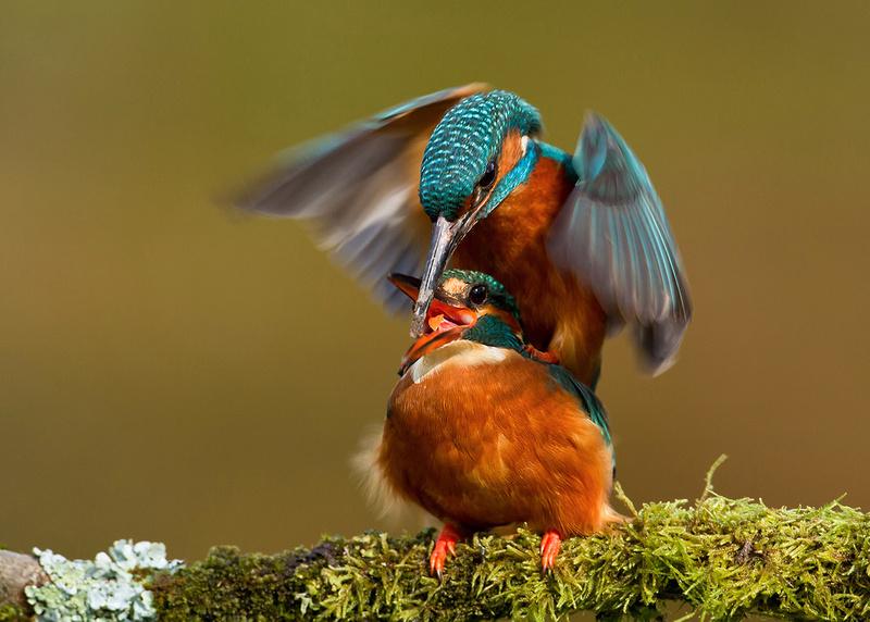 Mating Kingfishers