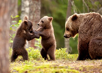 Eurasian Brown Bear Cubs Play-Fighting
