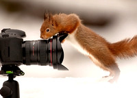 Red Squirrel Checking a Camera Lens