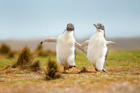 Gentoo Penguin Chicks in the Falkland Islands