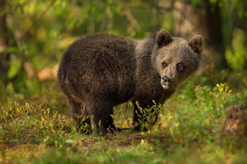 Bear Cub, Finland