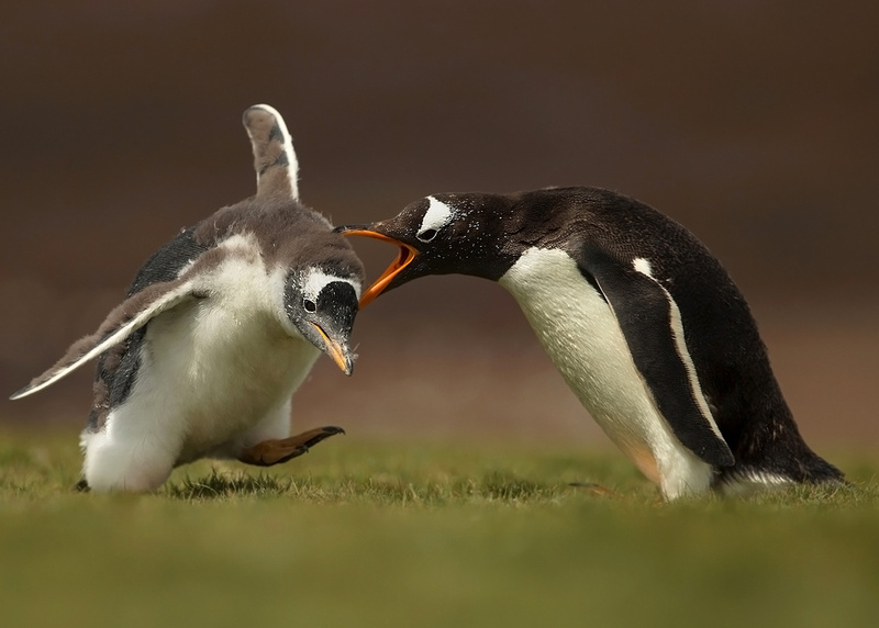 Gentoo Penguin Yelling at a Chick