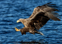 White-tailed Eagle, Norway