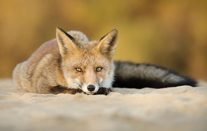 Dune Fox