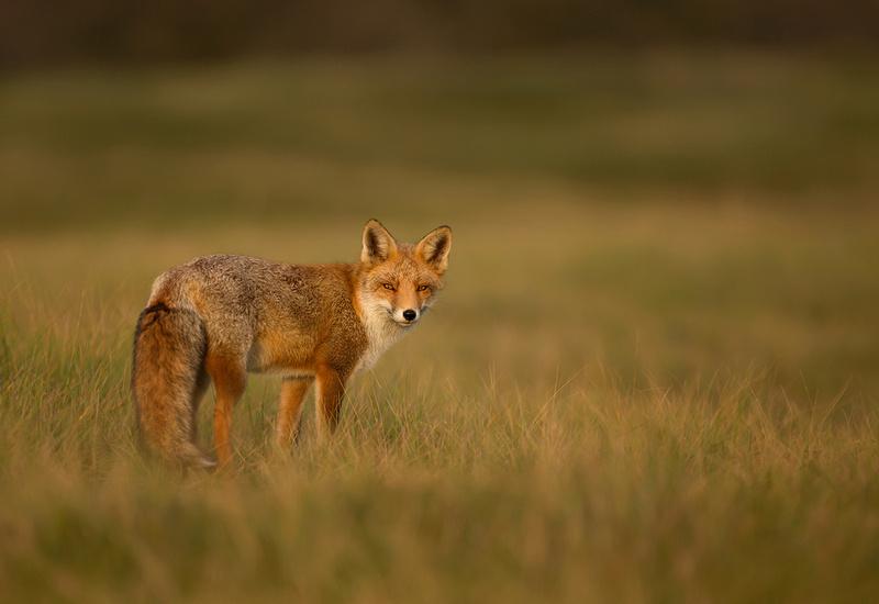 Fox in Autumn