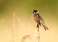 Reed Bunting in Summer