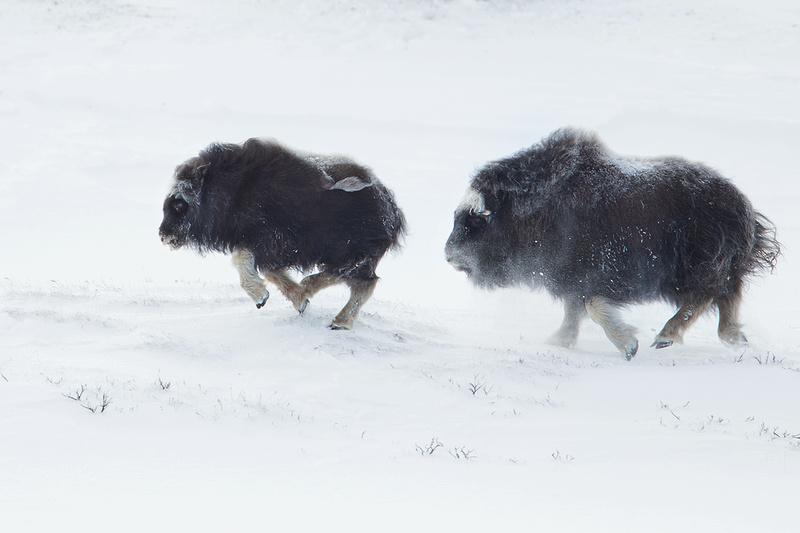 Juvenile Muskoxen Running