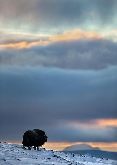 Musk Ox, Dovrefjell National Park